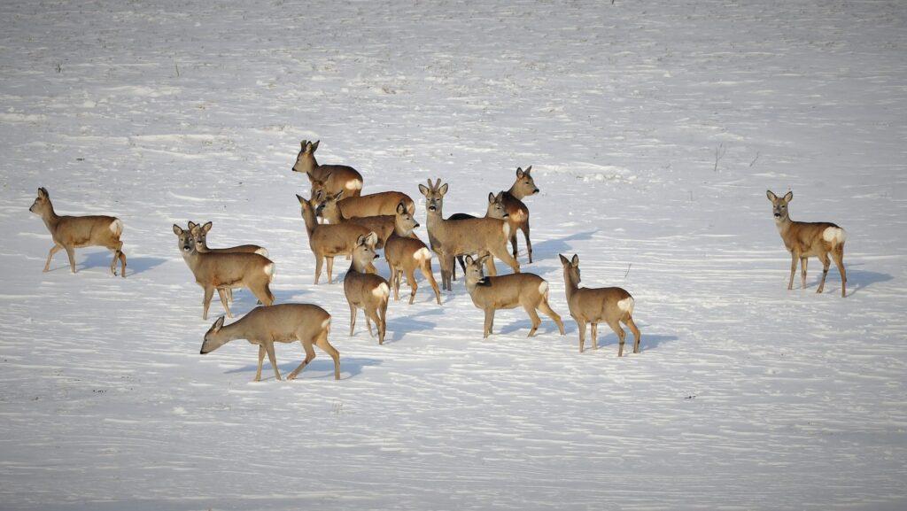 Widok stada saren zimą na polu